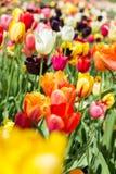 Zbliżenie od kolorowego tulipanu pola Zdjęcia Stock