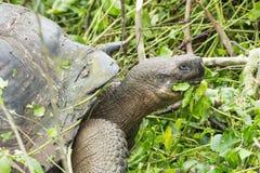 Zbliżenie od strony gigantyczny Galapagos tortoise Zdjęcia Stock