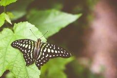 Zbliżenie ogoniasty sójki graphium lub motyla agamemnon Zdjęcia Stock