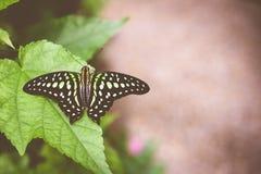 Zbliżenie ogoniasty sójki graphium lub motyla agamemnon Obrazy Stock