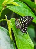 Zbliżenie ogoniasty sójki graphium lub motyla agamemnon na lea Obrazy Royalty Free
