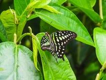 Zbliżenie ogoniasty sójki graphium lub motyla agamemnon na lea Zdjęcia Royalty Free