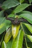 Zbliżenie ogoniasty sójki graphium lub motyla agamemnon na lea Zdjęcie Stock