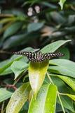 Zbliżenie ogoniasty sójki graphium lub motyla agamemnon na lea Obrazy Stock