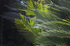 Zbli?enie opuszcza Mallorca endemicznych fan palmy Chamaerops humilis obrazy stock