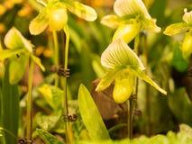 Zbliżenie Paphiopedilum Storczykowy kwiat Fotografia Royalty Free