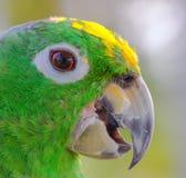 Zbliżenie papuga zdjęcia stock