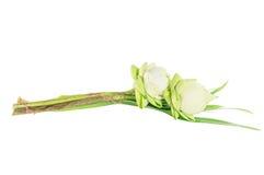 Zbliżenie pary lotos Zdjęcie Royalty Free