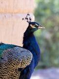 Zbliżenie Peafowl Obraz Royalty Free