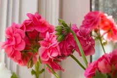 Zbliżenie Pelargonium hortorum Obraz Royalty Free