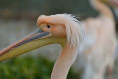 Zbliżenie pelikan Zdjęcia Stock