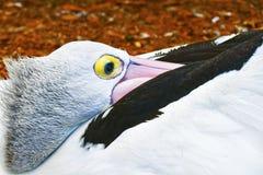 Zbliżenie pelikana ` s oko Obraz Royalty Free