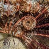 Zbliżenie Piórkowej gwiazdy Oxymetra erinacea Fotografia Royalty Free