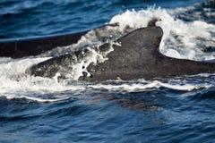 Zbliżenie plecy humpback wieloryb Obraz Royalty Free
