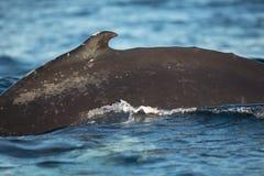 Zbliżenie plecy humpback wieloryb Fotografia Stock