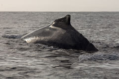Zbliżenie plecy humpback wieloryb Zdjęcie Royalty Free
