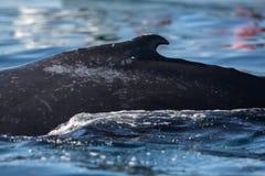 Zbliżenie plecy humpback wieloryb Fotografia Royalty Free