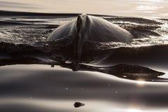 Zbliżenie plecy humpback wieloryb Obrazy Royalty Free