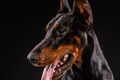 Zbliżenie portret Doberman Pinscher pies Patrzeje w kamerze na Czarnym tle Obrazy Royalty Free