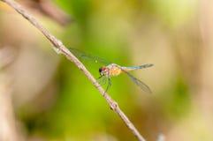 Zbliżenie portret dragonfly Obrazy Royalty Free