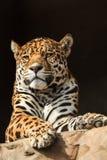 Zbliżenie portret jaguar lub Panthera onca Zdjęcia Royalty Free