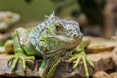 Zbliżenie portret Zielona iguana (iguany iguana) Obraz Stock