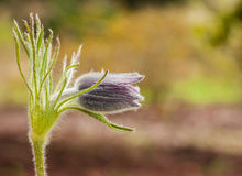 Zbliżenie profil Pojedynczy Pasque kwiat Obraz Stock
