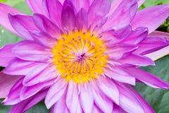 Zbliżenie purpur woda lilly Obraz Royalty Free