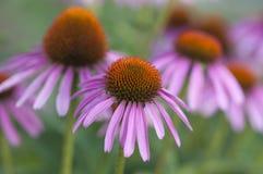 Zbliżenie purpurowi coneflowers lub Echinacea purpurea Obraz Stock