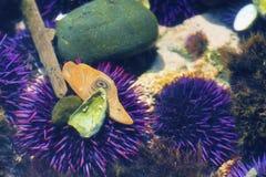 Zbliżenie Purpurowi Denni czesacy w tidepool Fotografia Royalty Free