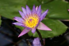 Zbliżenie purpury waterlily Zdjęcia Royalty Free