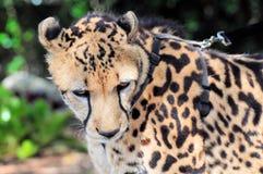Zbliżenie spokojny gepard Obraz Royalty Free
