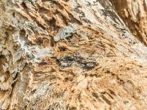 Zbliżenie sucha drewniana tekstura Fotografia Royalty Free