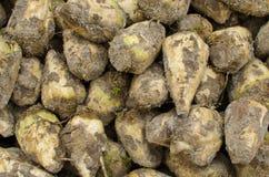 Zbliżenie sugarbeets Obraz Stock