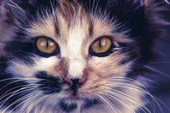 Zbli?enie tabby kota twarz Fauny t?o Zwierz?ta domowe i stylu ?ycia poj?cie zdjęcie royalty free