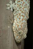 Zbliżenie Tokajski gekon Zdjęcia Stock