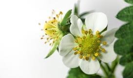 Zbli?enie truskawkowy kwiat w garnku niedojrza?a jagoda Makro- na bia?ym tle zdjęcie royalty free