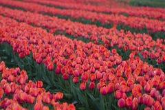 Zbliżenie tulipanowy pole zdjęcia stock