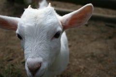 zbliżenie twarzy white kozie Obrazy Stock
