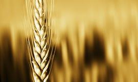 zbliżenie uprawy pszenicy Zdjęcie Royalty Free