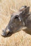 Zbliżenie warthog Fotografia Royalty Free