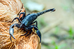 Zbliżenie widok skorpion w naturze Zdjęcie Royalty Free