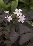 Zbliżenie widok szczawik Triangularis, purpurowy shamrock Zdjęcie Royalty Free