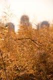 Zbliżenie widok trzcinowi spikelets przeciw miasto budynkom Fotografia Stock