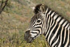 zbliżenie zebra Obrazy Royalty Free