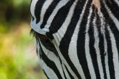 Zbliżenie zebra, Tanzania, Afryka Obraz Royalty Free