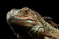 Zbliżenie Zielona iguana na Czarnym tle Obraz Stock
