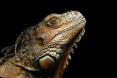 Zbliżenie Zielona iguana na Czarnym tle Obrazy Royalty Free