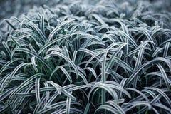 Zbliżenie zielona trawa z ranku mrozem Zdjęcia Stock