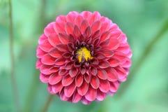 Zbliżenie zmrok menchii dalii kwiat Zdjęcie Royalty Free
